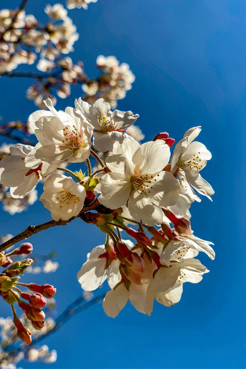 人吉城址の桜