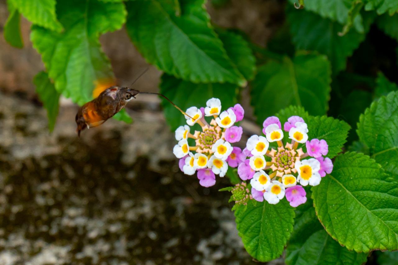 蜜を吸うホシホウジャク