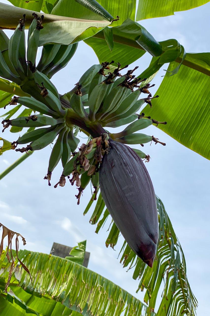 バナナの花と実