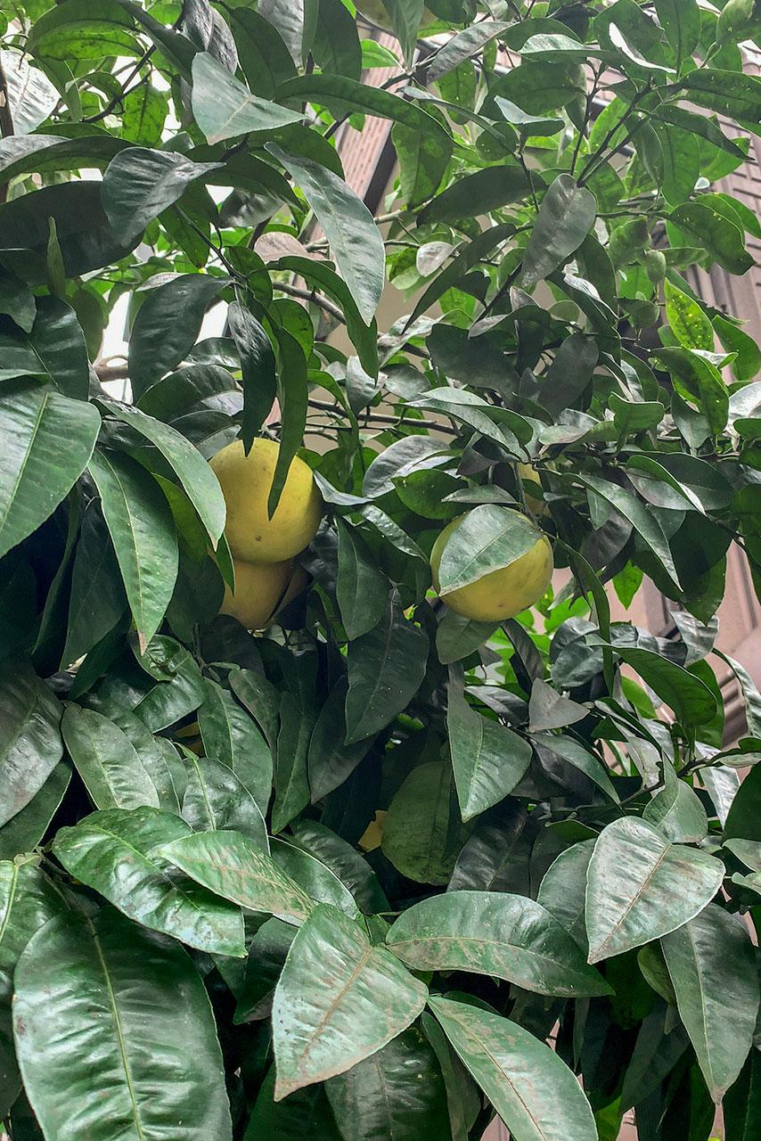 柑橘類の実