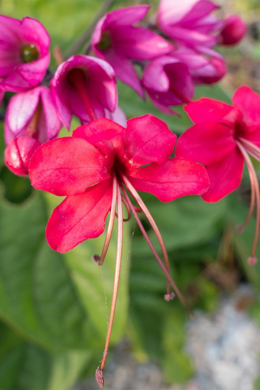 紅源平葛の花